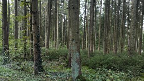 Das Projekt Mischwald ist in vollem Gange. Zwischen den Kiefern sieht man schon die neuen Laubbäume sprießen, auch Sträucher wurden gepflanzt.