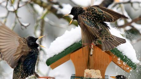 Diese Futterstelle scheint gut anzukommen: Zwei Stare streiten sich im Schnee um einen guten Fressplatz. Rechts ist ein Rotkehlchen zu sehen. Ein Leser hatte es beim Körner picken fotografiert. Der Landesbund für Vogelschutz hat Tipps für diejenigen, die Vögel füttern und beobachten wollen.