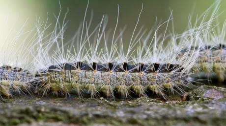 Sieht niedlich aus, kann aber gefährlich sein: Die Raupen des Eichenprozessionsspinners. In Kettershausen wird jetzt eine natürliche Bekämpfungsmethode getestet.