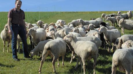 """Hobbyschäfer Andreas Korn hält in Bissingen 45 Schafe auf der Weide. """"Wenn der Wolf 300 Meter in die andere Richtung gelaufen wäre, wäre er direkt an meiner Koppel vorbei"""", sagt Korn. Nach dem Auftauchen des Raubtiers in Bissingen machen sich Schäfer im Landkreis Dillingen jetzt Sorgen."""