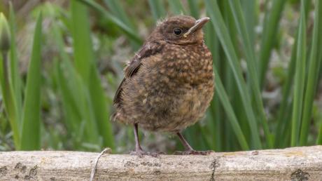 Rufende Jungvögel wie diese junge Amsel sind nicht hilflos, sie halten so Kontakt zu ihren Eltern, um gefüttert zu werden.