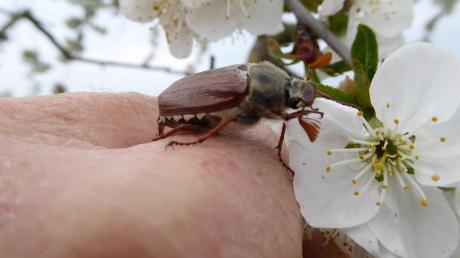 Lebendig geht es in diesen Frühlingstagen auch im Garten von Georg und Herta Heimer im Aschberg zu. Auf ihrem Schnappschuss beschnuppert ein Maikäfer-Exemplar gerade die Blüte des Weichselbaums, bevor er wieder abhebt und aus Holzheim davonfliegt.