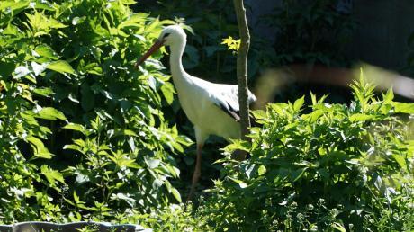 Noch stakst der Storch durch ein Gehege im Garten von Leonhard Schaudi, macht aber schon erste Flatterübungen.