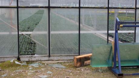 Spuren einer panischen Flucht: Mehrmals durchbrachen die beiden Wildschweine Glasscheiben in der Gärtnerei in Münster. Der Schaden summiert sich auf 3000 bis 4000 Euro.