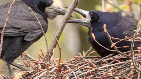 Das brütende Krähenpaar sieht eigentlich ganz friedlich aus. Aber wenn die Zahl der Vögel so sprunghaft ansteigt wie in Bäumenheim, ist es genau das nicht mehr.