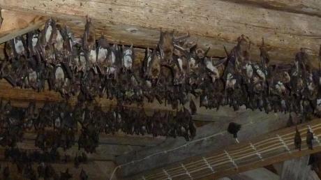 Blick in den Dachstuhl der Kirche in Seglohe im Nordries: Dort befindet sich die größte Kolonie des Großen Mausohrs im Landkreis Donau-Ries. Fachleute schätzen, dass es heuer rund 1000 Fledermäuse waren.