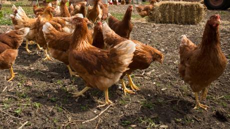 In Langerringen könnte ein großer Stall für Bio-Legehennen entstehen. Ein Landwirt hat eine entsprechende Bauvoranfrage eingereicht.