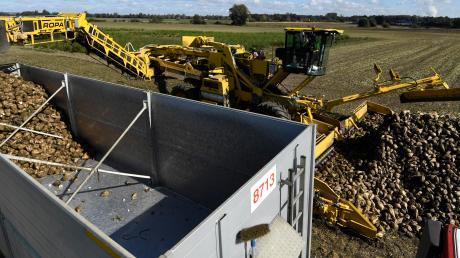 Südzucker wird im kommenden Jahr Biozucker in Rain produzieren. Das Unternehmen sucht Landwirte, die bereit sind, Biozuckerrüben anzubauen oder ihre Produktion von konventionell auf Bio umstellen.