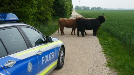 Bei Mödishofen sind etliche Rinder entlaufen. Das kommt in Bayern öfter vor, wie vor kurzem in Donauwörth.