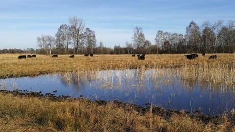Der Landkreis kooperiert im Zuge der Förderung der Artenvielfalt unter anderem mit Betrieben, die Galloway-Rinder halten wie hier in den Lauterbacher Ruten.