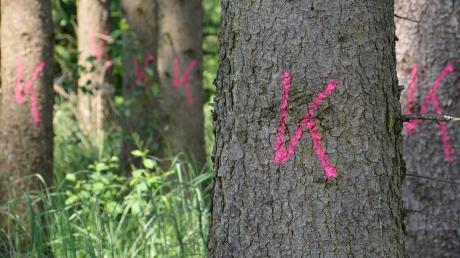 Markierte Bäume bedeuten oft nichts Gutes: Befallene Exemplare werden gekennzeichnet. Auch klimatische Veränderungen begünstigen die Ausbreitung von Schädlingen.