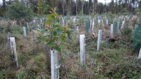 """In der Abteilung """"Brentenschlag"""" südlich von Monheim wird der Stadtwald neu aufgeforstet. Im Vordergrund ist eine Amerikanische Roteiche zu sehen."""