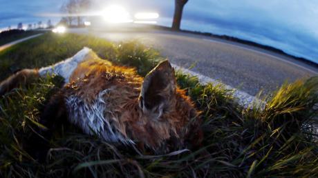 Ein trauriges, aber gewohntes Bild auf den Straßen im Donau-Ries-Kreis: Bis zum 1. Dezember sind der Polizei 1000 Wildunfälle gemeldet worden. Dies ist ein trauriger Rekord in der Region.