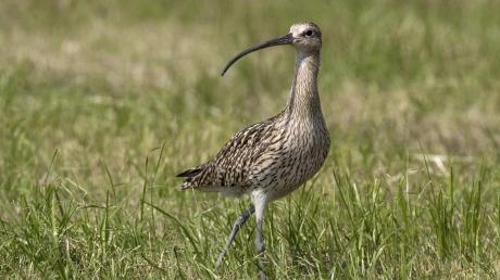 Der Große Brachvogel steht auf der roten Liste der bedrohten Tierarten in der Kategorie 1: Vom Aussterben bedroht. In der Mertinger Höll fühlt er sich eigentlich gut aufgehoben, doch die Bedingungen werden jetzt optimiert.