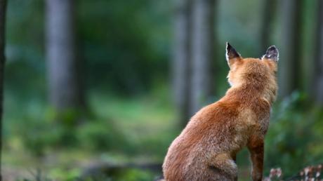 Ein Aislinger hat einen Fuchs erschossen.