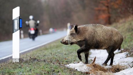 Ein Wildschwein lief bei Heretsried in einen Krankentransport.