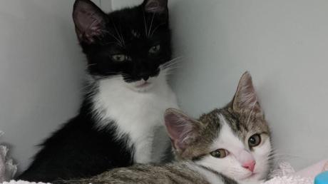 Eine Frau hat mehrere kranke Katzenbabys verkauft. Diesen zwei Kätzchen geht es nach der tierärztlichen Behandlung schon besser.