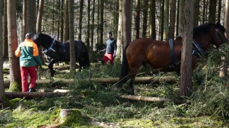 Im Donauwörther Stadtwald waren kürzlich Pferdegespanne im Einsatz. Stadtförster Michael Fürst kann sich vorstellen künftig öfter auf die Tiere zurückzugreifen.