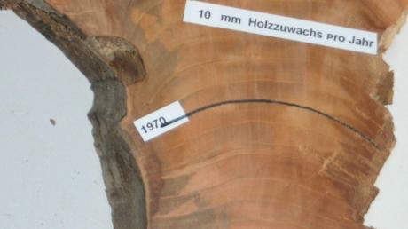 Für den Holztechniker Siegfried Gruber erzählen die Relikte nach der Fällung die Geschichte. Bei einem in Graisbach gefällten Kirschbaum hat er die Jahresringe erläutert.