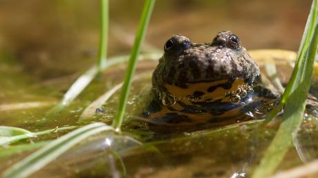 Weil Amphibien wie die Gelbbauchunke hierzulande nicht mehr allzu häufig vorkommen, startet der Verein Naturpark Altmühltal eine Kartierungsaktion in Monheim, Tagmersheim, Rögling, Daiting und Marxheim.