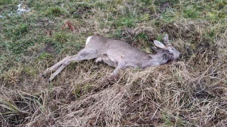 Dieses Reh wurde von einem unbekannten Tier östlich von Brachstadt gerissen. Jagdpächter Heinz Roser ist besorgt: Er registrierte in seinem Revier in den vergangenen Monaten mehrere solche Fälle.