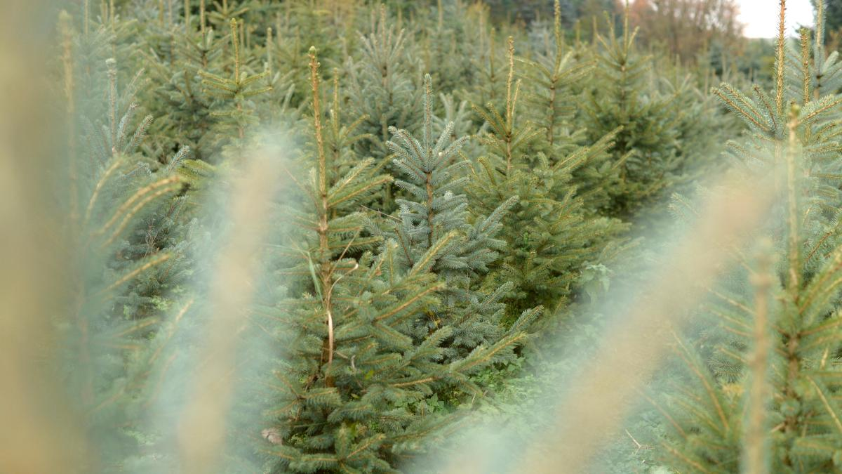 christbaumverkauf weihnachtsbaum in augsburg und region kaufen hier geht 39 s nachrichten. Black Bedroom Furniture Sets. Home Design Ideas