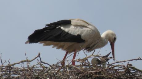 Zwei Jungvögel versorgt das Pöttmeser Storchenpaar.