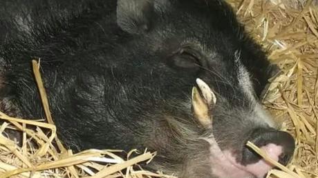 Zu den tierischen Gefährten der Malchers zählt auch Minischwein Bernd. Vor dem Aichacher Zivilgericht spielte das Schweinchen eine indirekte Rolle.