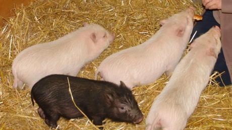 Einer der Streitpunkte in dem Verfahren ist die Zucht von sogenannten Mini-Schweinen.