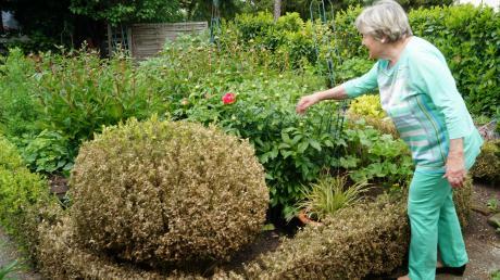 Die vom Zünsler befallenen Buchskugeln und -umrandungen machen Mechthild Hof in ihrem prachtvollen Garten in Friedberg keine Freude mehr.