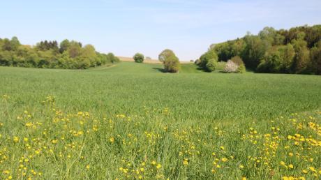 Auf der Anhöhe im Blickfeld der Streuobstwiese liegt eine der vier Mischhecken des Bundes Naturschutz Kissing.