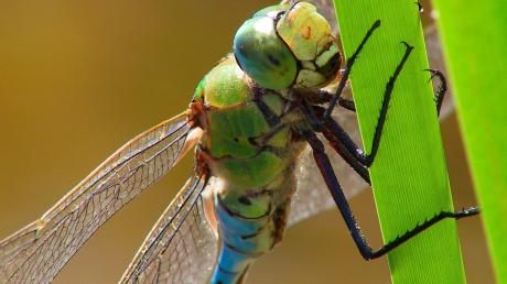 Die Tongrube Glon hat sich zu einem wertvollen Biotop entwickelt. Viele Insektenarten finden hier einen Lebensraum, wie die Große Königslibelle .