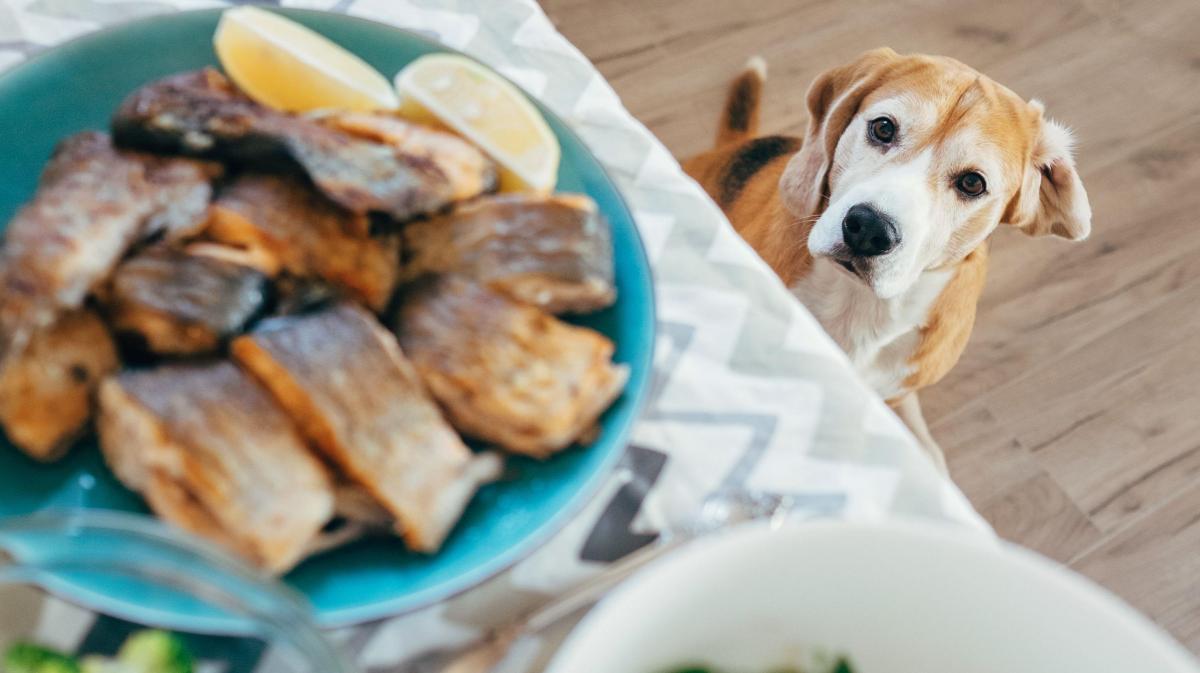 Warum man Hunde nicht vom Tisch füttern sollte
