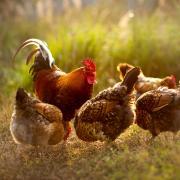 Hühner zu halten wird immer beliebter. Wenn man ein paar Kniffe berücksichtigt, geht das auch relativ einfach.
