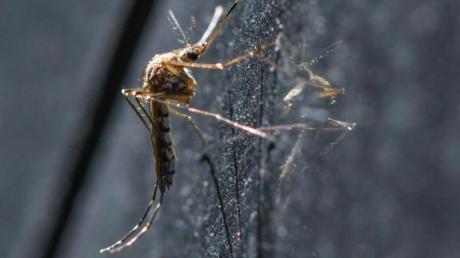 Eine Mücke der Art Aedes vexans hängt an einem Auto.