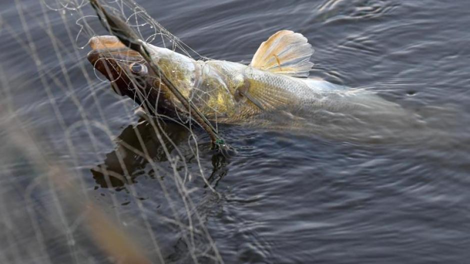 Immer mehr Fisch wird aus Aquakulturen gewonnen.
