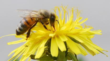 Für Bienen, Insekten und Frösche ist eine große Biotop- und Ausgleichsfläche zwischen Neuburg/Kammel und Edelstetten entstanden.