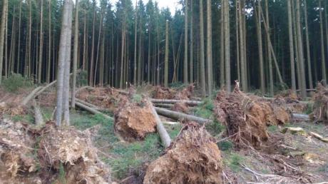 """Hier hat Sturm """"Sabine"""" einige große Fichten umgeworfen. Oft fielen auch nur einzelne Bäume um. Das Amt für Ernährung, Landwirtschaft und Forsten appelliert an Waldbesitzer, das Sturmholz rasch aufzuarbeiten und aus der Fläche zu holen, damit diese Bäume keine Angriffsflächen für den Borkenkäfer liefern. Das Bild stammt aus dem Raum Krumbach."""
