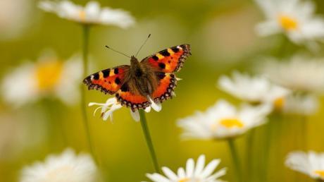 """Das Ziel der Günztal-Stiftung: ein Biotopverbund für Insekten. Denn auch ehemals weit verbreitete Schmetterlingsarten wie der """"Kleine Fuchs"""" gehen in ihrem Bestand zurück."""