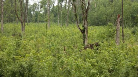 Das Eschentriebsterben breitet sich seit mehr als zehn Jahren unaufhaltsam in Bayern aus. Doch wie geht man damit um? Das Bild zeigt einen verjüngten Eschenbestand bei Altenstadt an der Iller mit einzelnen Alteschen und Biotopbäumen.