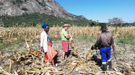 Franz Keck (Mitte) nutzt seine zusätzliche Zeit in Simbabwe und lernt die Kultur näher kennen. Im Heimatdorf seiner Schwiegereltern etwa half er bei der Maisernte. Mit auf dem Bild sind seine Frau Ronika und sein Schwiegervater Ambros Tandi.