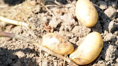 Vom Acker auf die Straße: Nach einem Unfall verteilte sich am Mittwoch in Schrobenhausen im sogenannten Kartoffelkreisel der Inhalt von zwei Kartoffelanhängern auf der Straße.