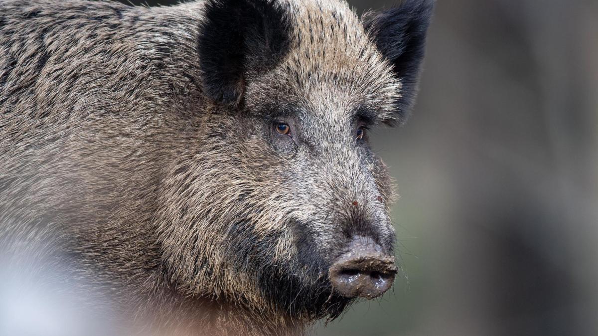 Schweinepest: Hohe Abschusszahlen allein reichen nicht aus