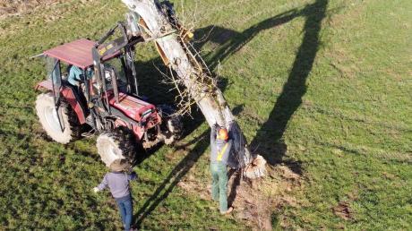 Am 20. Februar wurde der Ur-Jakob-Fischer-Baum in der Nähe von Biberach an der Riß gelegt. Das etwa 120 Jahre alte Unikat drohte umzustürzen und wird nun vom Rettenbacher Künstler Bernhard Schmid als Kunstwerk erhalten.