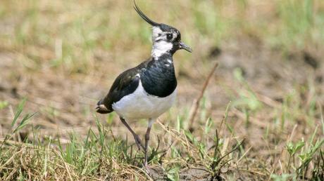 Früher war er ein Allerweltsvogel, heute muss er vor allem in der Brutzeit geschützt werden: der Kiebitz.