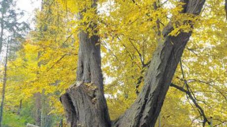 Die alte Linde (Bild) beim Kindergarten in Kettershausen war Thema bei der Gemeinderatssitzung. Ein Baumgutachten soll nun klären, ob es ratsam ist, den 200 Jahre alten Baum zu fällen.