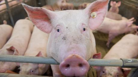 Umbauten soll es in einem Ellgauer Schweinemastbetrieb geben. Die Zahl der Tiere soll aber nicht erhöht werden.