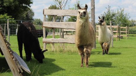 Entspannt in der Sonne stehen, hin und wieder ein bisschen Gras von der Koppel zupfen: Lamas fühlen sich nicht nur im südamerikanischen Hochgebirge wohl. Zehn der Tiere und zwei Alpakas haben in Buch bei Familie Weis ein Zuhause gefunden.