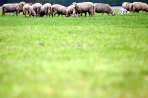 Totes Schaf aus Senden wird obduziert