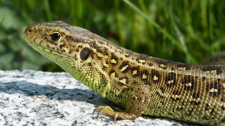 """Nach der Flora-Fauna-Habitat-Richtlinie (FFH) ist die Zauneidechse """"streng geschützt"""". Auf der Roten Liste gefährdeter Arten in Bayern zählt das Kriechtier zu den """"Arten der Vorwarnliste""""<b>.</b>"""